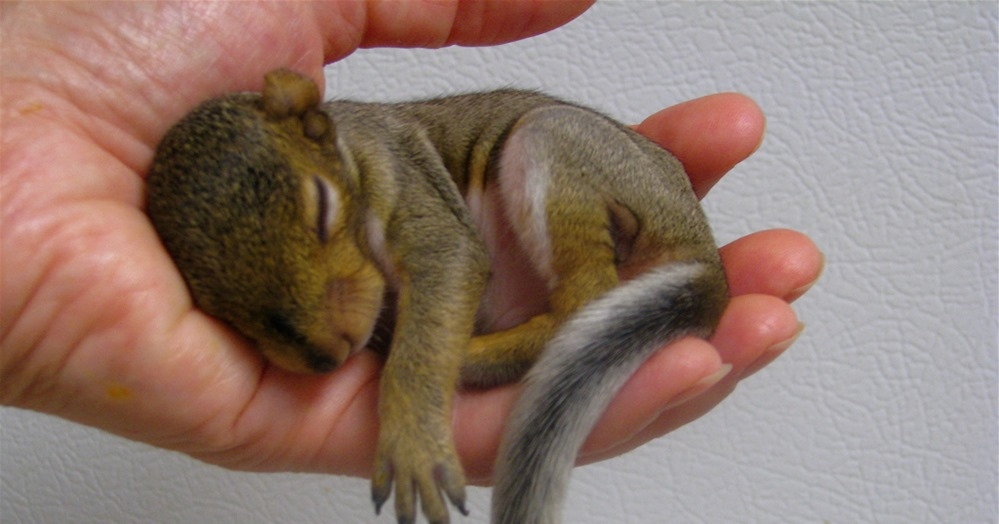 Baby Squirrel by Flickr User Audreyjm529 used under CC